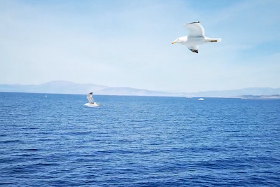 We see an image looking over the sea towards the mountains in the distance. Close up in the sky are two sea birds with black tips. They are flying separate although at the same height. The sea is calm with a very small swell, no waves. The sky has thin white clouds.