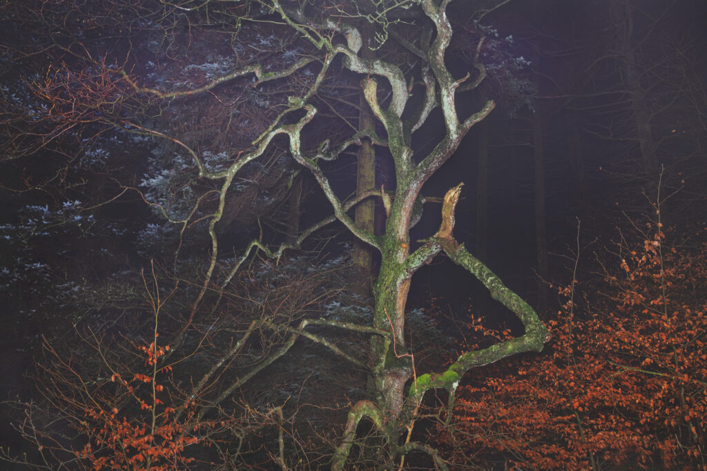 Photograph of a gnarled tree taken from below at dusk or night time, the photo appears to have been taken with flash and there are some smaller trees with orange leaves to either side of the large central tree.