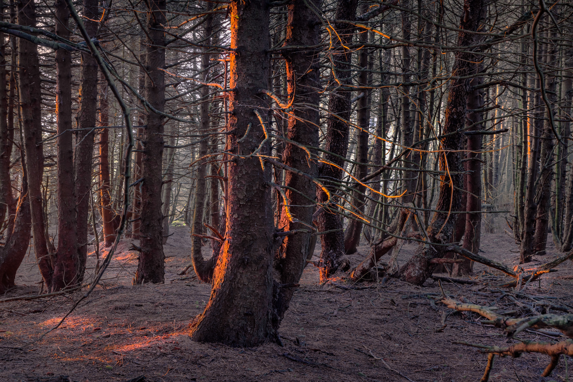 A forest is shown in low sunlight, as though in winter or at dusk. The image is in shades of dark brown, green, blue and orange where light strikes the trees.